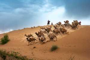 PhotoVivo Gold Medal - Liansan Yu (China)  Running Camels