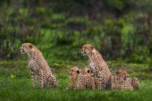 APAS Gold Medal - Meng Xue (China)  Leopard
