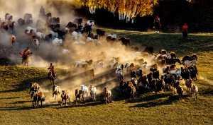 APU Honor Mention e-certificate - Hung Kam Yuen (Australia)  Horses Herding