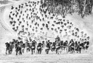 PhotoVivo Gold Medal - Yuk Fung Garius Hung (Hong Kong)  Snow Horse 1