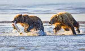APU Honor Mention e-certificate - Phillip Kwan (Canada)  Bear Chasing