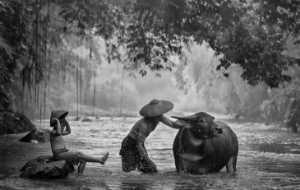 PhotoVivo Honor Mention e-certificate - Irine Wiguno (Indonesia)  Bathing The Buffalo
