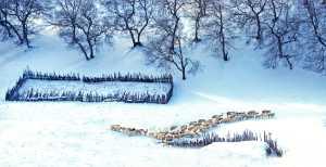 PhotoVivo Gold Medal - Changyu Tong (China)  Herd Return
