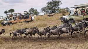 APU Honor Mention e-certificate - Sinkai Cheung (Australia)  Wildebeest Migration 2019-3