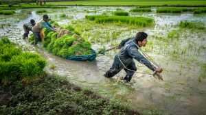 PhotoVivo Gold Medal - Jin Huat Yeoh (Malaysia)  Heavy Loads Of Rice Paddy