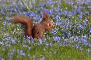 Circuit Merit Award e-certificate - Wolfgang Schweden (Germany)  Red Squirrel In Spring 1