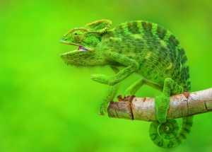 PhotoVivo Honor Mention e-certificate - Vasudev Harischandra Masarakall (India)  The Chameleon
