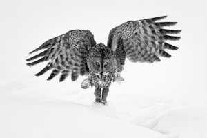 PhotoVivo Honor Mention e-certificate - Phillip Kwan (Canada)  Great Gray Owl 62