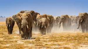 APAS Honor Mention e-certificate - Kai Hay Clement Law (Hong Kong)  Amboseli elephants 4