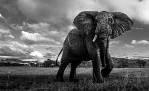 FIP Ribbon - Baoli Gong (China)  Red Mud Elephant