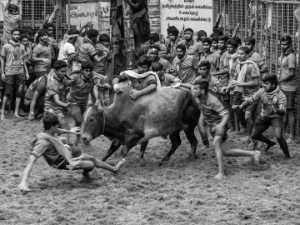 APAS Honor Mention e-certificate - Venkateswaran Radhaswamy (India)  Bull Taming Avaniapuram