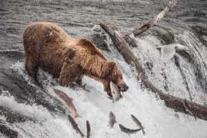 ICPE Honor Mention e-certificate - Zhe Wang (China)  Fisher Bear
