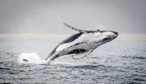 APAS Honor Mention e-certificate - Graeme Watson (Australia)  Breaching Whale 3