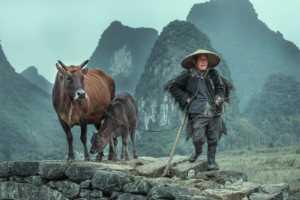 APU Honor Mention e-certificate - Yuanlin Tang (China)  Cattle Man