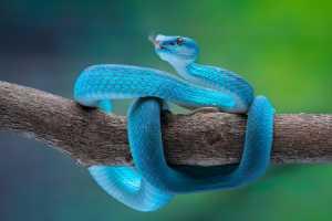 APU Gold Medal - Hein Htet (Singapore)  Blue Pit Viper 11