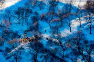 PhotoVivo Gold Medal - Mingzai Su (China)  Herd