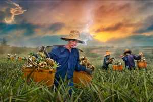 ICPE Gold Medal - Jeanne Chung (Canada)  Pineapple Harvest