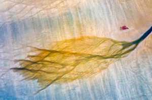APU Gold Medal - Zan Fu (China)  Gold Beach Leaf