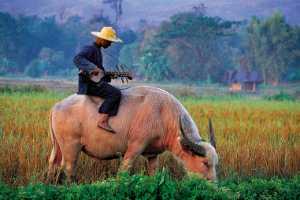 PhotoVivo Honor Mention e-certificate - Waranun Chutchawantipakorn (Thailand)  3-White Buffalo