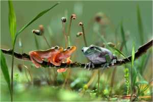 PhotoVivo Gold Medal - Lee Eng Tan (Singapore)  Tree Frogs From Two Worlds