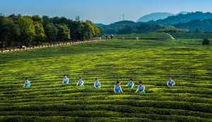 APAS Gold Medal - Jinfeng Zhang (China)  Picking Tea