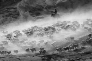 PhotoVivo Gold Medal - Guanfu Song (China)  A Flock Of Sheep