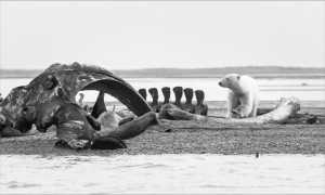 ICPE Gold Medal - Phillip Kwan (Canada)  Polar Bear At Bone Pile
