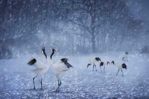 PhotoVivo Gold Medal - Im Kai Leong (Macau)  Snow Crane