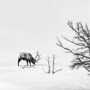 PhotoVivo Gold Medal - Min Li (China)  Deer In Snowland 2
