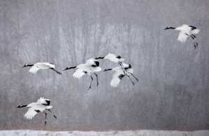 PhotoVivo Gold Medal - Ming Li (China)  Stork Goes To The Picture