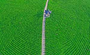 APAS Gold Medal - Wei Ye (China)  Green Tea Garden 05