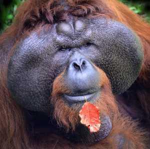 APU Winter Honor Mention E-Certificate - Andrew Bong (Malaysia)  Orangutan
