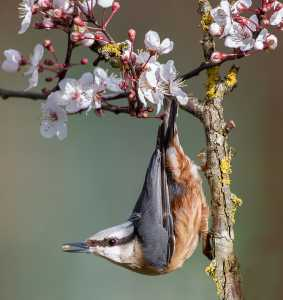 APU Winter Merit Award E-Certificate - Lee Sutton (England)  Nuthatch In Cherry Blossom With Nut