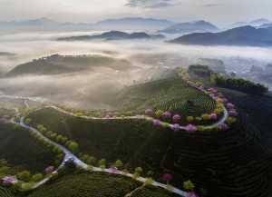 APAS Silver Medal - Shimin Wang (China)  The Morning Light Of The Tea Garden