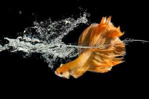 Circuit Merit Award e-certificate - Kristanto Lie (Indonesia)  Betta Fish In Splash
