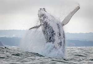Circuit Merit Award e-certificate - Graeme Watson (Australia)  Breaching Whale 4