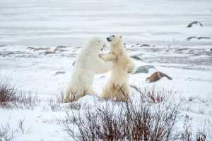 APU Honor Mention E-Certificate - Xinxin Chen (China)  The Polar Bear78
