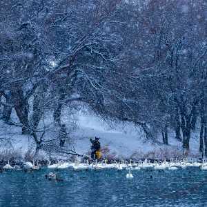 Circuit Merit Award e-certificate - Huijun Liang (China)  Swans Lake