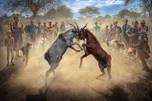 APU Winter Gold Medal - Yuk Fung Garius Hung (Hong Kong)  Goat Fighting