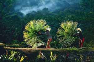 APU Gold Medal - Le Cong Binh (Vietnam)  Harvest Season Sedge
