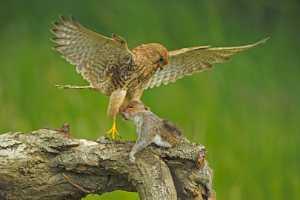APU Gold Medal - Bob Devine (England)  Kestrel Lifts Squirrel