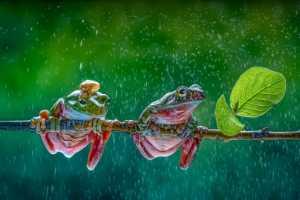 APAS Honor Mention e-certificate - Pandula Bandara (Sri Lanka)  Friends In Rain