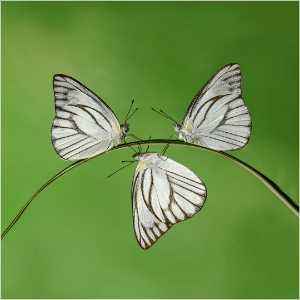 PhotoVivo Honor Mention e-certificate - Kristanto Lie (Indonesia)  Trio Butterfly
