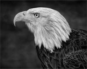 Circuit Merit Award e-certificate - Donald Dedonato (USA)  Handsome Bald Eagle