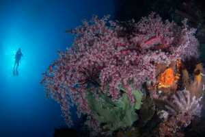APU Honor Mention e-certificate - Irine Wiguno (Indonesia)  Underwater Serenity
