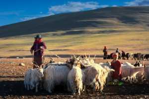 PhotoVivo Gold Medal - Chongfeng Wu (China)  Lovely Herd Sheep
