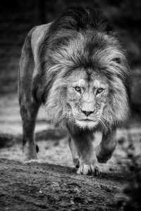 Circuit Merit Award e-certificate - Holger Buecker (Germany)  Approaching Lion