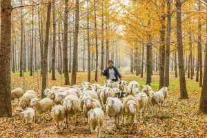 APAS Honor Mention e-certificate - Zhaoping Wang (China)  Herding