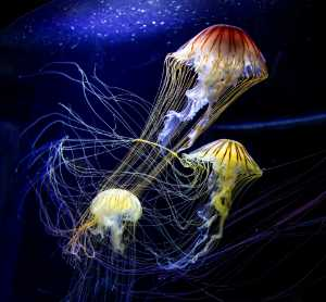 Certificate of Commendation - Andrew Bong (Malaysia) - Jellyfish