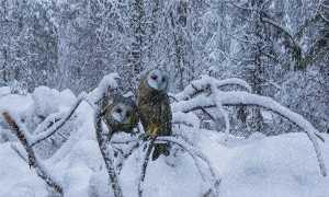 APAS Honor Mention e-certificate - Jiahong Zeng (USA)  Barn Owl In Snow